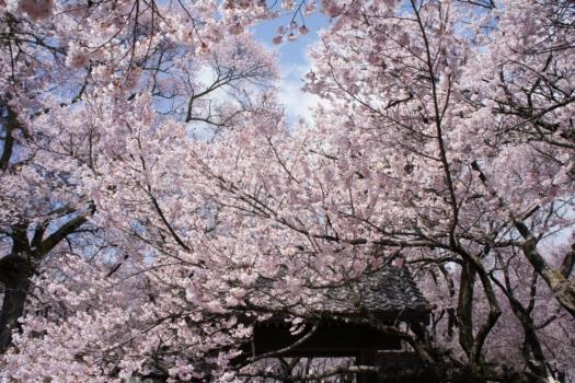 Cherry Blossoms Galore: Takato Castle Cherry Blossom Festival