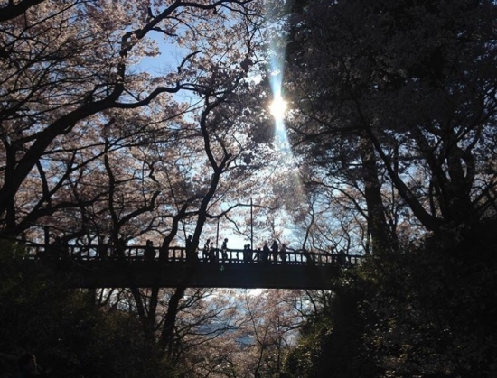 Enjoy Takato Castle's cherry blossoms