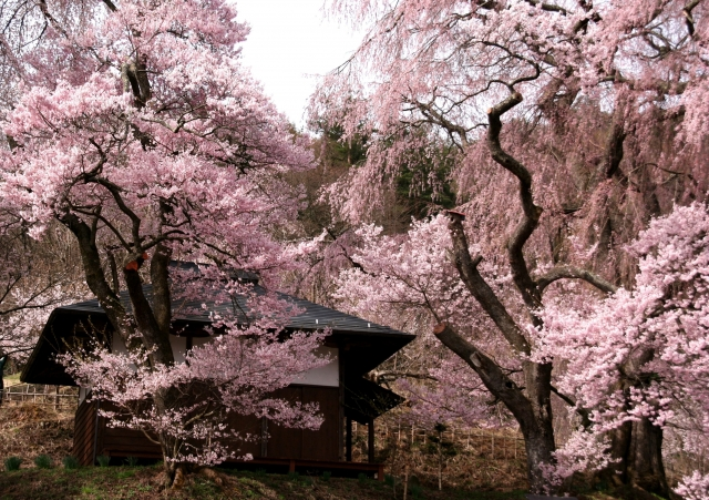 Cherry Blossoms Galore: Takato Castle Cherry Blossom Festival